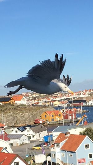 I was scared but this Huge Seagull made no attempt for my life No Attack Today