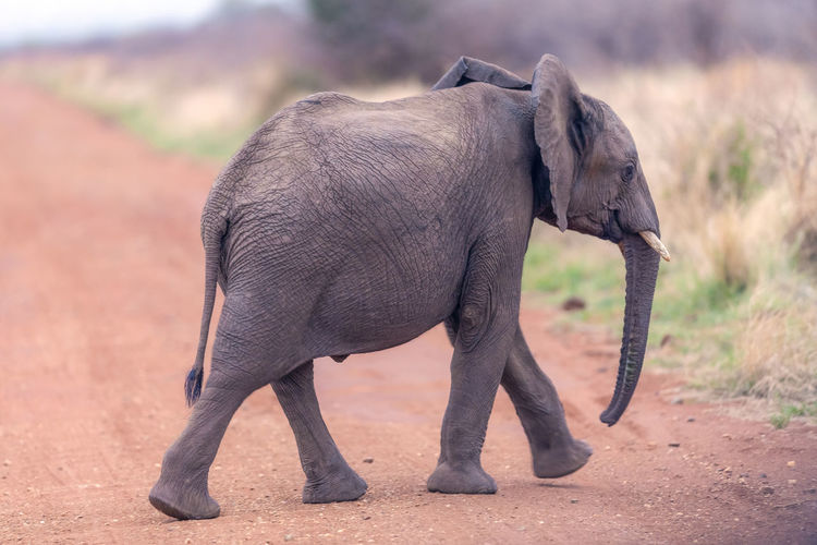 Side view of elephant calf crossing dirt road