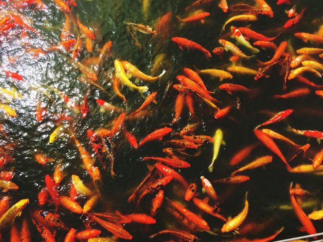 Large Group Of Animals Swimming Koi Carp Fish Animal Themes Carp School Of Fish Water Sea Life Animals In The Wild Orange Color Nature Close-up Multi Colored Togetherness No People Day Animal Wildlife Beauty In Nature Red Philippines