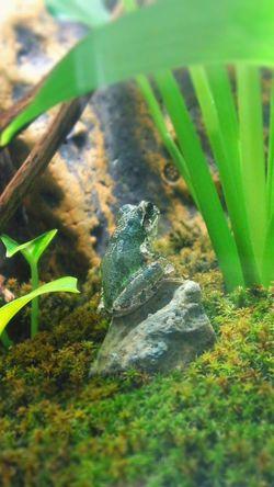 カエル 両生類 Flog Terrarium Growth Plant Nature Green Color