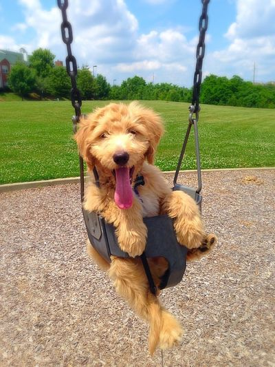 A day at the park! Someonepushme Goldendoodle Mydogsarecuterthanyourkids Cute