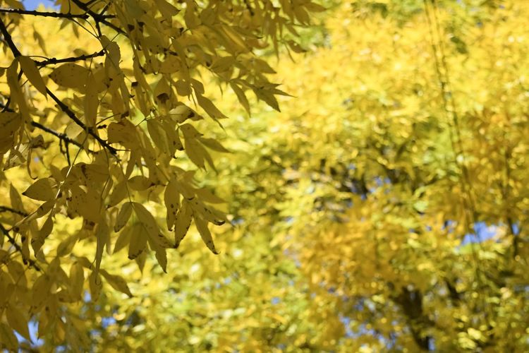 Fall Colors Chicago Plant Tree Leaf Plant Part Growth Beauty In Nature No People Branch Nature Yellow Close-up Autumn Focus On Foreground Day Outdoors Change Tranquility Sunlight Low Angle View Selective Focus Maple Leaf Leaves Nature Nature_collection