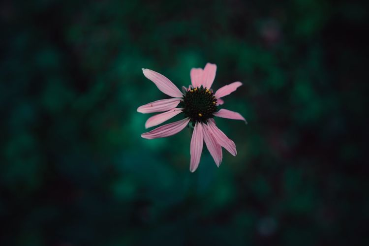 EyeEm Selects Flower Petal Fragility Flower Head Beauty In Nature Nature Freshness Growth Blooming Plant Focus On Foreground No People Outdoors Day Close-up Osteospermum EyeEmNewHere