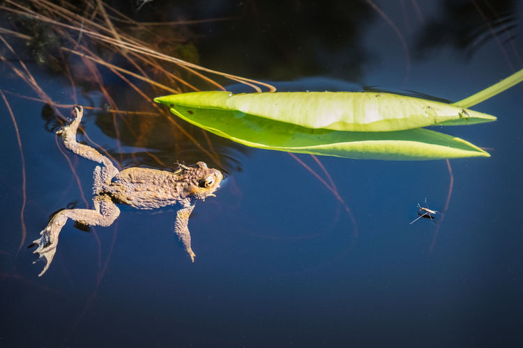 Frog looking insect at summer day in pond, Finland Water Animal Wildlife Animal Themes Animal Animals In The Wild Nature One Animal Plant Part Swimming No People Close-up Reflection Underwater Floating On Water Leaves Day Outdoors Finland Frog Insect Eating Watching Nature Sunlight Bright