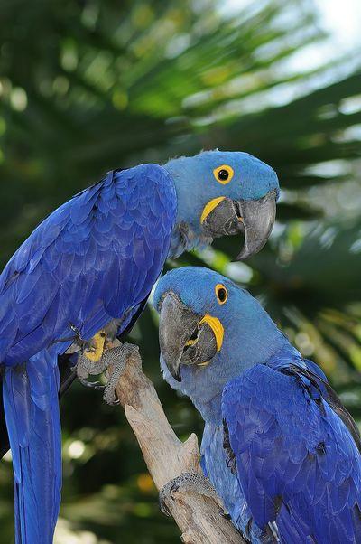 Parrots Peroquet Oiseaux Zoo De La Palmyre France Bleu Animaux Animal Couple Ara