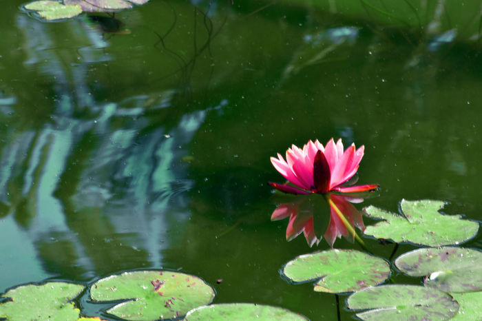 Beauty In Nature Floating On Water Flower Flower Head Fragility Green Green Color Lotoflower Lotus Lotus Water Lily Nature Nature Pink Plant Reflection Reflection Photography Water Water Reflections