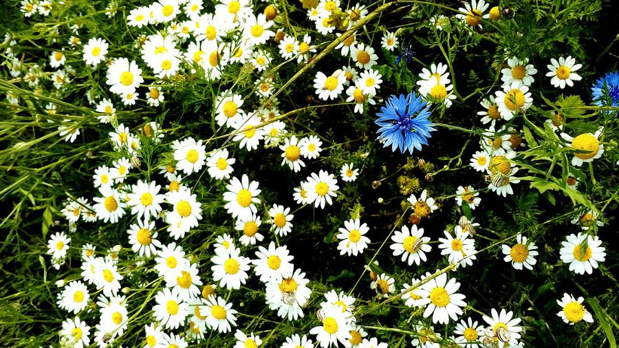 Daisies Meadow Summertime Blossom Top View