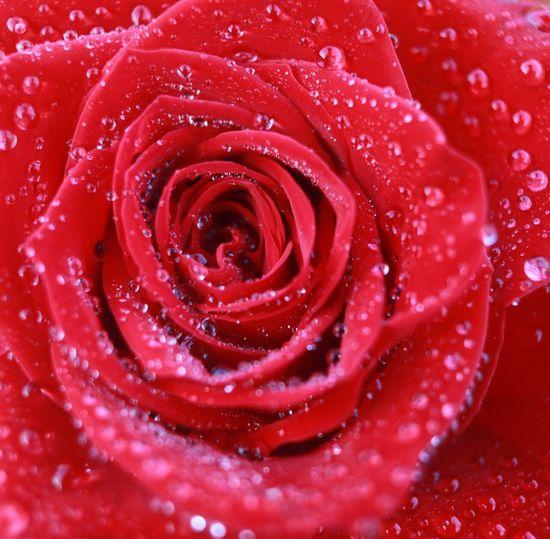 Full frame shot of wet red rose