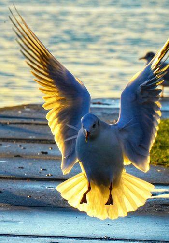 Seagull landin
