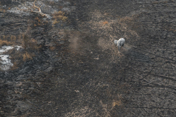 Lonely Elephant Walking On Ash After Fire