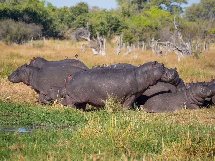 Group of hippotamus in moremi game reserve, botswana