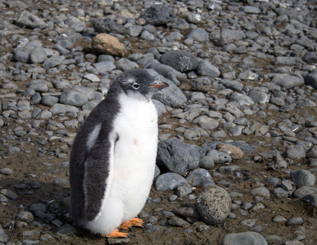 Close-up of penguin on rocks at beach