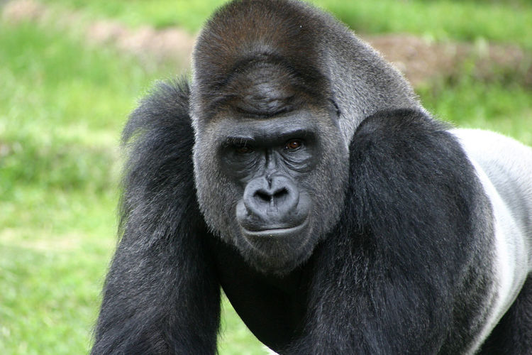 Close-Up Portrait Of Gorilla On Field