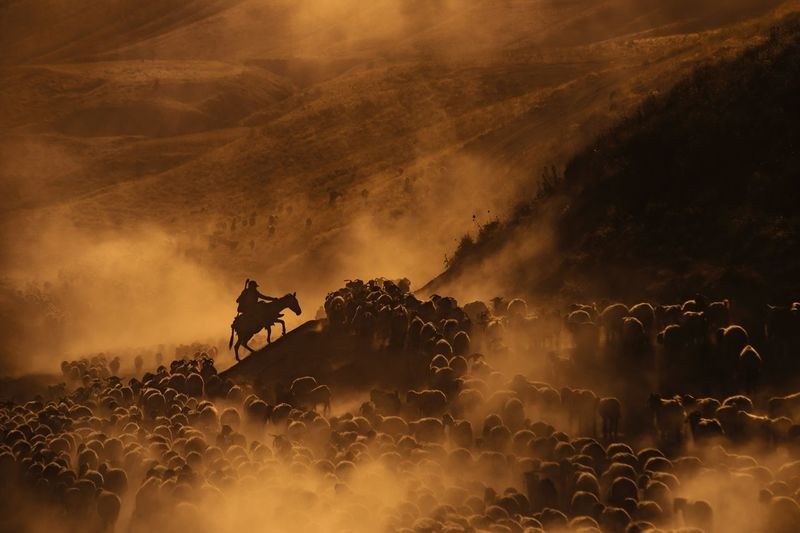Silhouette person riding horse amidst sheep on mountain during sunrise