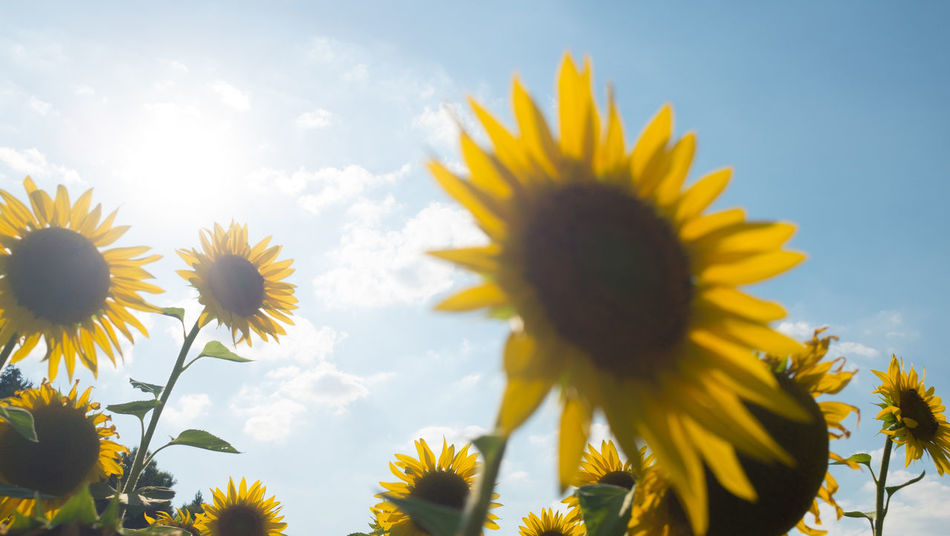 You never can have enough sunflowers... Summer Views Summertime Sunflower Beauty In Nature Flower Flower Head Flowering Plant Freshness Growth Low Angle View Plant Sunflower Sunlight Sunlight ☀ Yellow