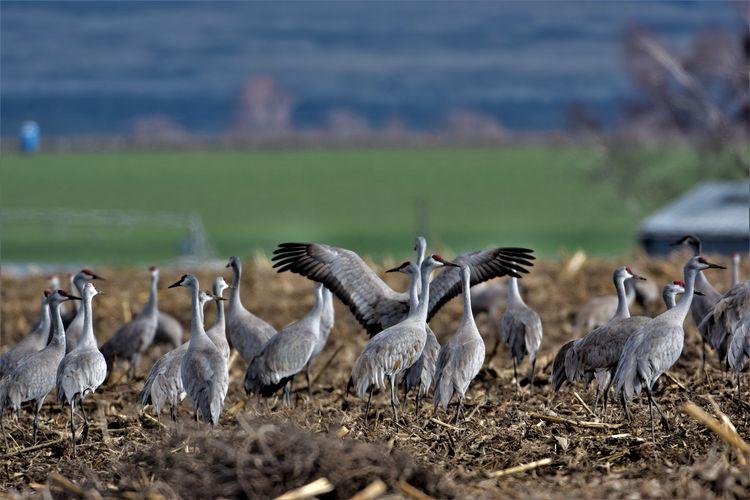 Bird Birds Dancing Cranes Lesser Sandhill Crane Nature Othello Sandhill Crane Festival Sandhill Crane Dan Sandhill Cranes Spread Wings