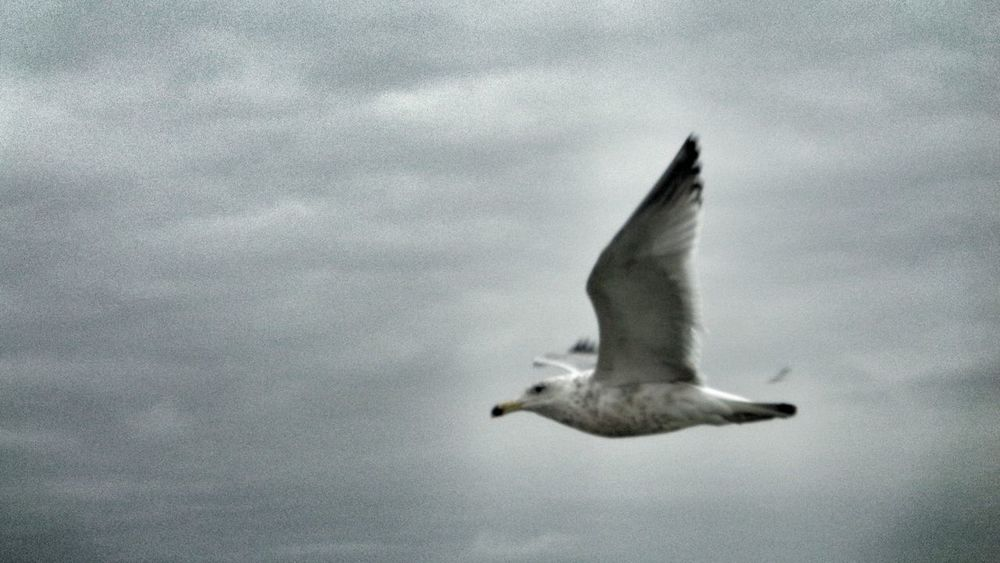 Seagull Seagulls SEAGULL IN FLIGHT Seagulls In Flight Seagull ın Flıght Seagull And Sky Seagull Flying Free Seagullview Seagull In The Air Cloudyday The Week On EyeEm Pet Portraits