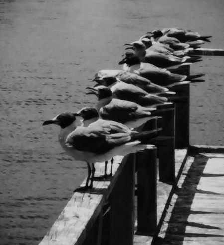 Monochrome Artistic Expression Blackandwhite Seagulls Seagulls At The Lake Seagulls In The City Dockside