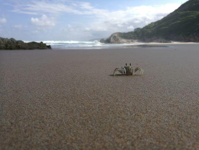 Oubos Sand Beach Crab Eastern Cape