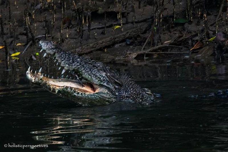 Estuarine crocodile Estuarinecrocodile Sungeibulohwetlandreserve Sungeibuloh Crocodile Singapore