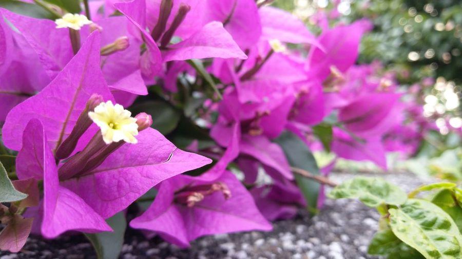 ブーゲンビリア Bougainvillea flowers Flower ブーゲンビリア Bougainvillea Flower Head Pink Color Purple Leaf Petal Close-up Plant