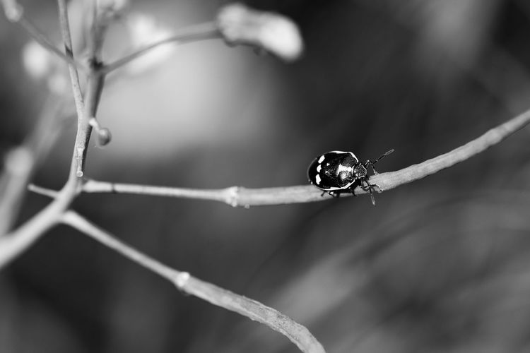 Black and white shield bug also known as the crucifer, the cabbage or brassica bug