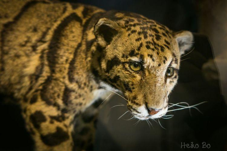 Naturkundemuseum Berlin ,Leopard Heikobo Leopard Berlin Berlin Mitte Museumsinsel Museumsinsel Berlin Naturkundemuseum Naturkundemuseum Berlin