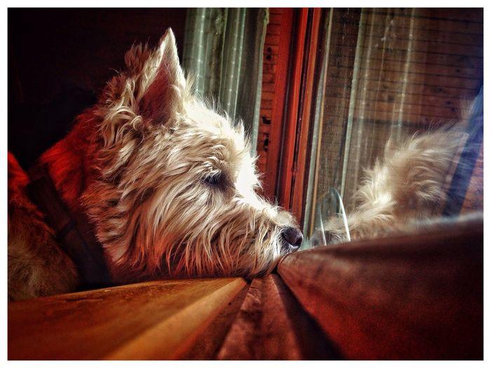 Westie Hanging Out Enjoying Life Hello World Iphonephotography