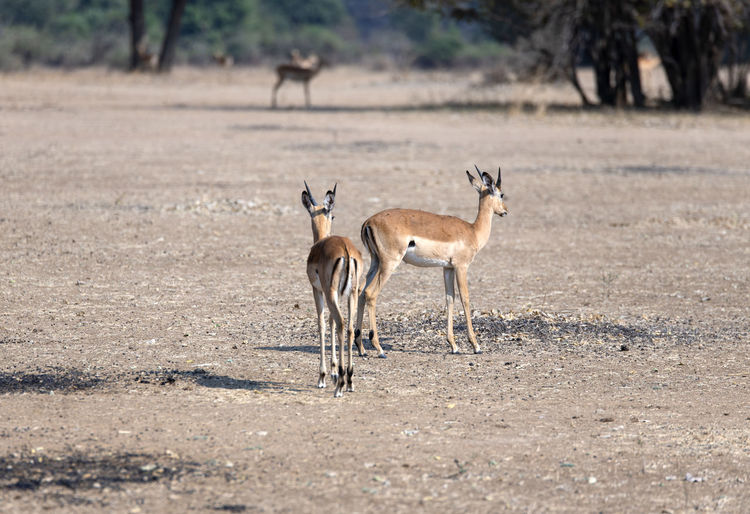 View of two impalas on field