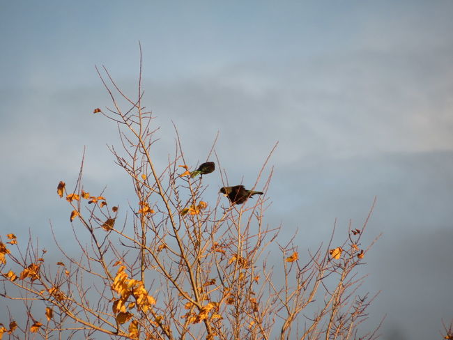 Bird Love Bird Outdoors Sunlight Tree Tui Nz Native Bird Incandescent Reflective Copper Colour Deciduous Nature No People Animals In The Wild Day Autumn Plant Golden Golden Leaves Branch Flower Sky Beauty In Nature Flying Mammal