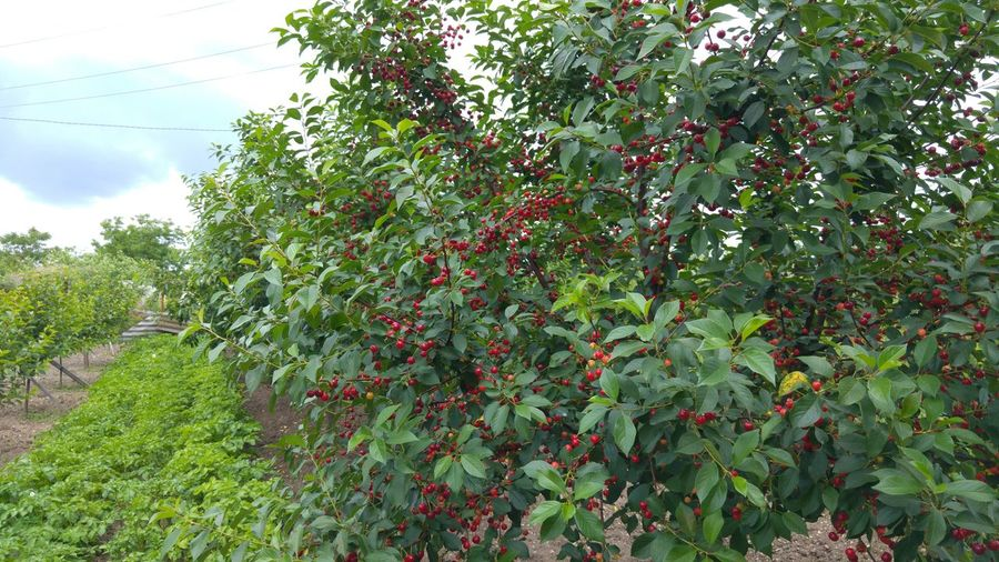 The Essence Of Summer Cherries Cherry Cherry Tree Trees Green Potato