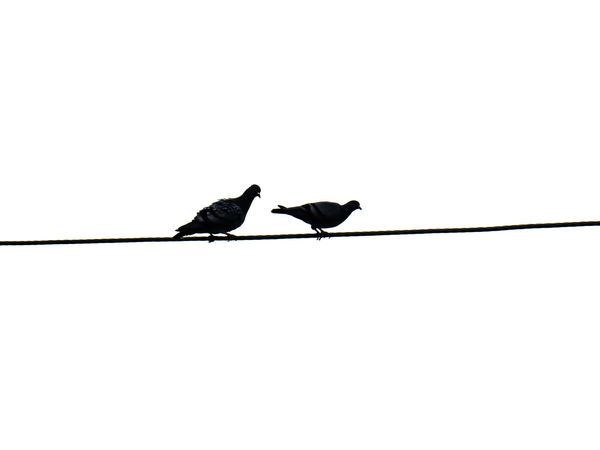 Silhouette of Pigeons or doves on electric wire isolated on white. Birds Pigeons Doves Pigeons And Doves Bird Perching Raven - Bird Silhouette Animal Themes Electricity Tower Telephone Line Bird Of Prey Phone Cord Connection Block Ibis Electricity Pylon Cable Power Line  Starling Eagle - Bird Bald Eagle Hawk Telephone Pole Owl Falcon - Bird Eagle Hawk - Bird Power Supply Electric Pole Vulture