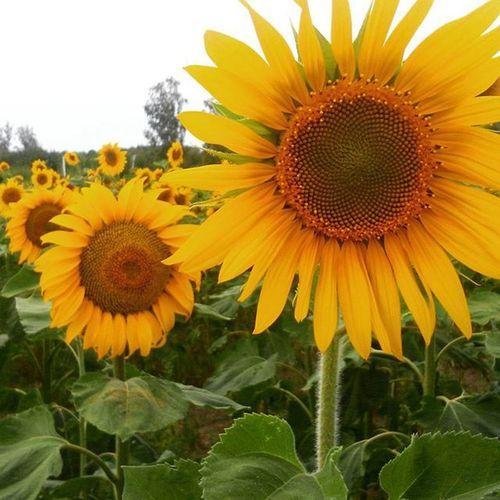 подсолнух поле желтый жёлтик
