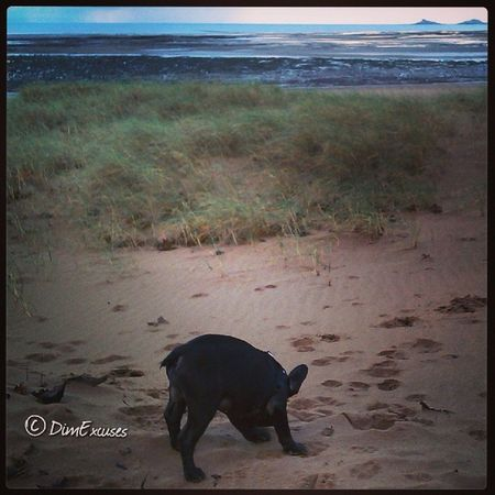 AdventuresOfMolly sniffing the SPIN dune. SwanseaBay