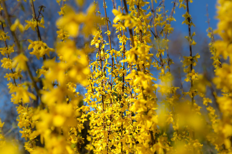Close-up of fresh yellow flowering plants on field