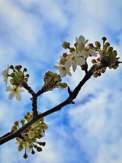 Taking Photos Outdoors Cloud - Sky Flower Fragility Growth Beauty In Nature Nature Low Angle View Petal Blossom Sky Freshness Flower Head Day Branch Tree Botany Springtime Twig