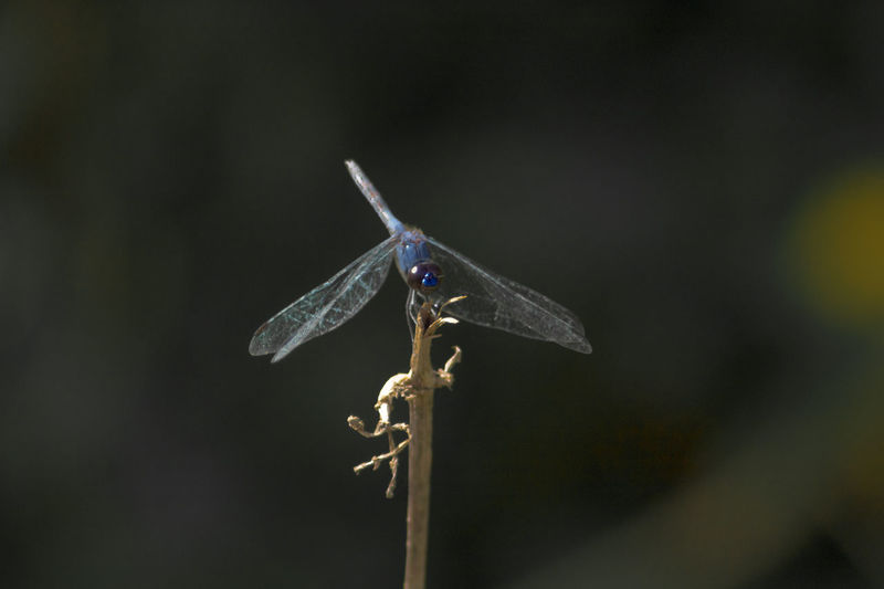 macro photos of the blue sea dragonfly in a very beautiful forest Close-up Animals In The Wild Animal Wildlife One Animal No People Insect Focus On Foreground Animal Themes Nature Animal Wing Animal Invertebrate Day Dragonfly Plant Outdoors Selective Focus Twig Perching Beauty In Nature Stick - Plant Part