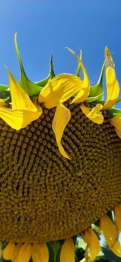 Close-up of yellow sunflower against blue sky