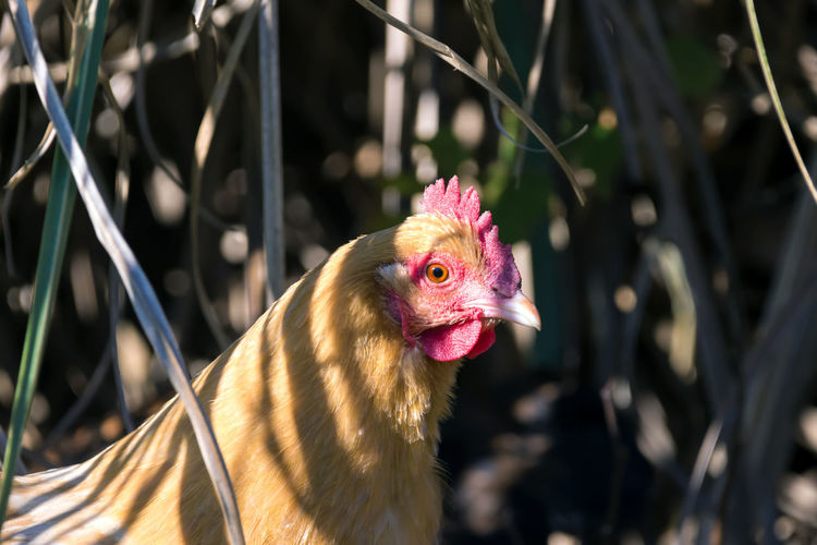 Chickens Chickens Country Farm Livestock Animal Themes Bird Chicken - Bird Close-up Curious Animals Day Domestic Animals Farm Animal Close Up Feathers Of A Bird Focus On Foreground Food Fowl Hen Livestock Nature No People No People, Outdoor Outdoors Pets Rual