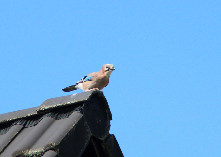 Jay on the Roof Beauty In Nature Bird Bird Photography Birds_collection Eichelhäher Jay Jay Bird Nature Rabenvögel Singvogel Songbird