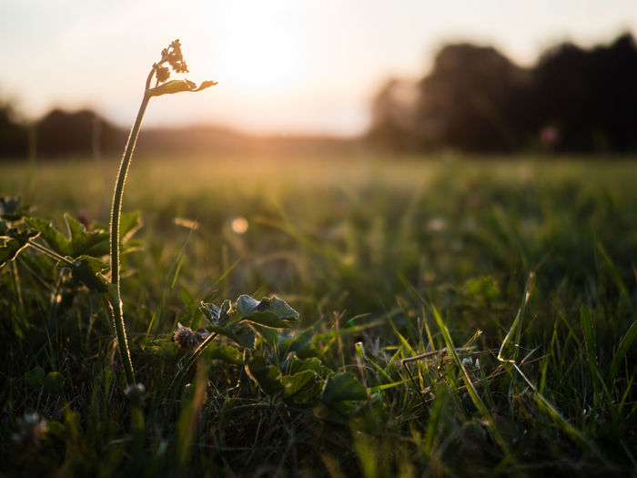 Grass Rising Above Beauty In Nature Close-up Field Fragility Grass Green Color Growth Land Landscape Mood Nature No People Outdoors Peaceful Selective Focus Single Sunlight Sunset Tranquility