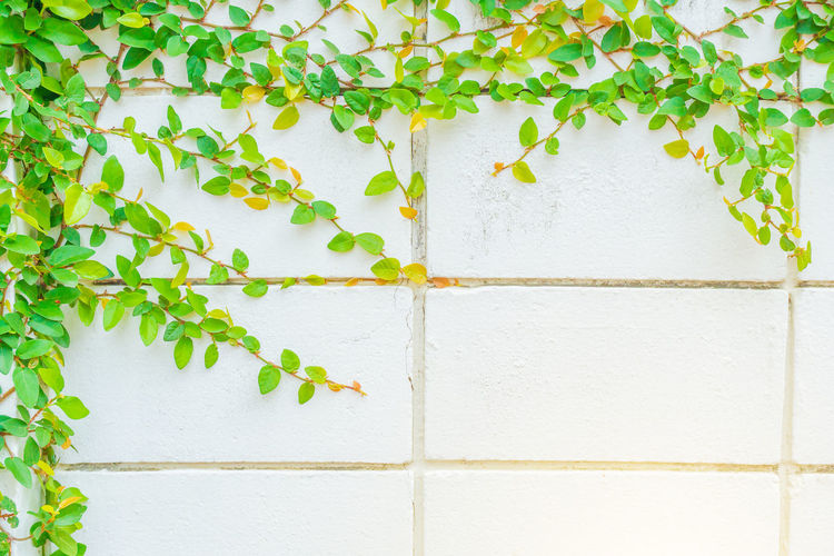 Green Creeper Plant on concrete wall black, Space of wall with ivy on the side, Design space for the background., Green leaves on old brick wall for use as background Architecture Building Exterior Built Structure Close-up Creeper Plant Day Green Color Growth Ivy Leaf Nature No People Outdoors Plant Plant Part Tile Vine Wall Wall - Building Feature White Color