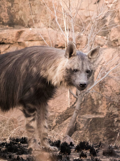 Portrait of hyena on field