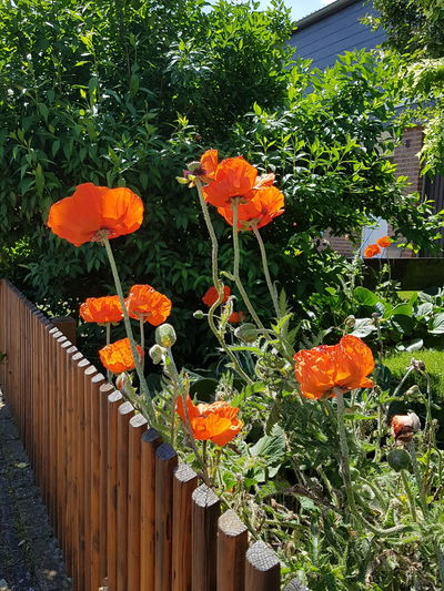 Orange Color Flower Outdoors Growth Day Beauty In Nature No People Plant Nature Freshness Fragility No Edit/no Filter Fence Line Fence Wooden Fence Poppies In The Wind Beauty In Nature Ladyphotographerofthemonth Natural Beauty Poppy Season Poppy Gorgeous Colors Springtime Summer Garden Poppies EyeEm Selects