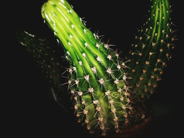 Cactus Green Color House Plant Green Cactus Black Background Dark Darkness And Light Darkness Thorns