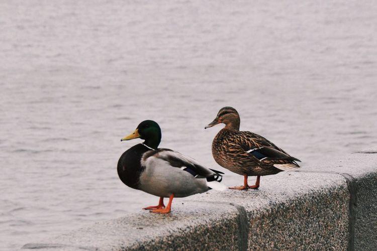 Ducks Perching On Retaining Wall By Sea