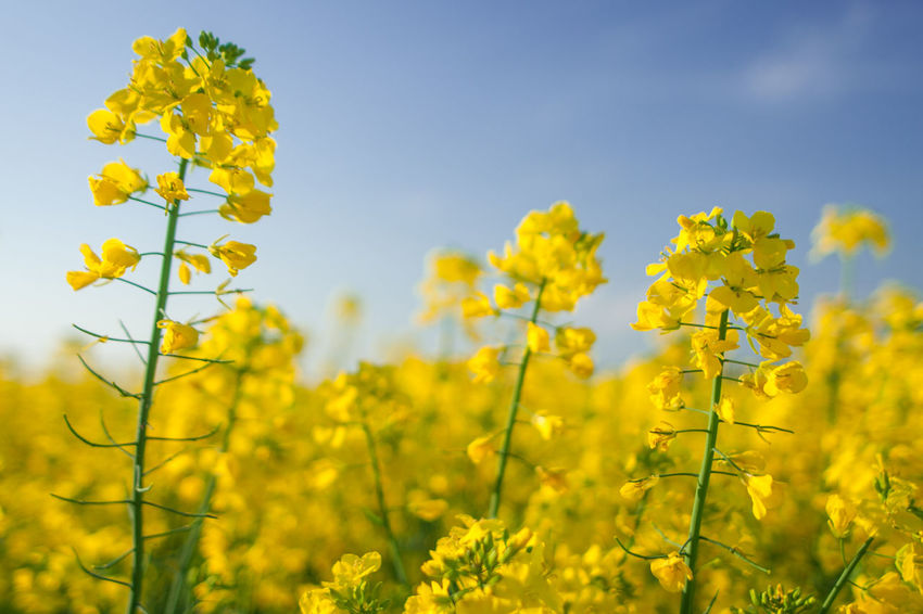 RapeFlowers Rapeseed Field Agriculture Beauty In Nature Crop  Day Field Flower Flower Head Flowering Plant Freshness Growth Land Landscape Nature No People Oilseed Rape Outdoors Plant Rapefield Rapeseed Rapeseed Flowers Rural Scene Springtime Yellow