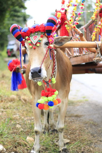 Bull Cow Cowboy Mammal Domestic Animals Domestic Animal Animal Themes Pets Focus On Foreground Livestock Vertebrate One Animal Multi Colored Decoration Day Field Flower Nature No People Outdoors Plant Land Herbivorous