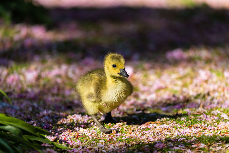 Close-Up Of Duckling Walking