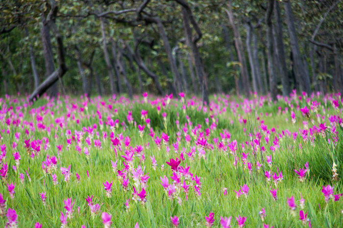 Pink field of Siam tulip at Chaiyaphum Province, Thailand. Beauty In Nature Close-up Crocus Day Defocused Field Flower Flower Head Flowerbed Focus On Foreground Fragility Freshness Grass Growth Multi Colored Nature No People Outdoors Pink Color Plant Purple Scenics Siam Tulip Springtime Tree